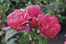 Rose 'Elbflorenz'